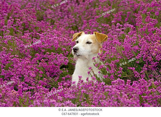 Jack Russell Terrier in Heather