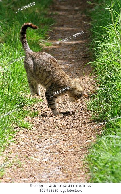 Wild cat hunting a viper