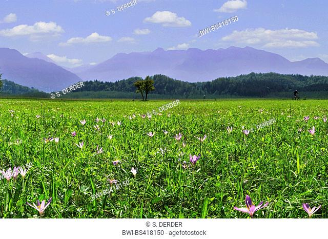 Meadow saffron, Naked lady, Autumn crocus (Colchicum autumnale), medow with blooming autumn crocuses, with the Ammergau Alps in the background, Germany, Bavaria