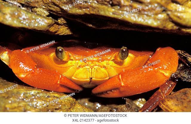 land crab, Trinidad and Tobago