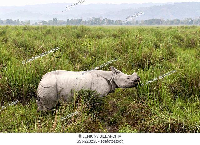 Indian Rhinoceros (Rhinoceros unicornis). Adult eating elephant grass. Kaziranga National Park, India