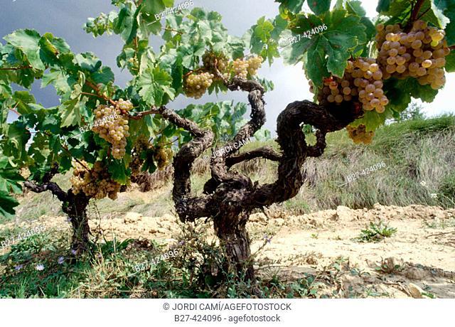 Albet i Noya vineyards, used to make organic wine. Sant Pau d'Ordal, L'Alt Penedés, Barcelona province, Spain