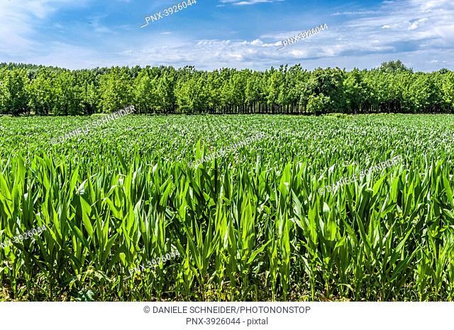 France, Gironde, right side of the Garonne river, Entre-deux-Mers, cornfield and poplar plantation by the Garonne river in Saint-Macaire