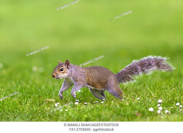 Squirrel on the run, London, UK