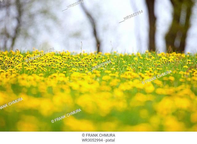 Field of Blooming Dandelions in Springtime