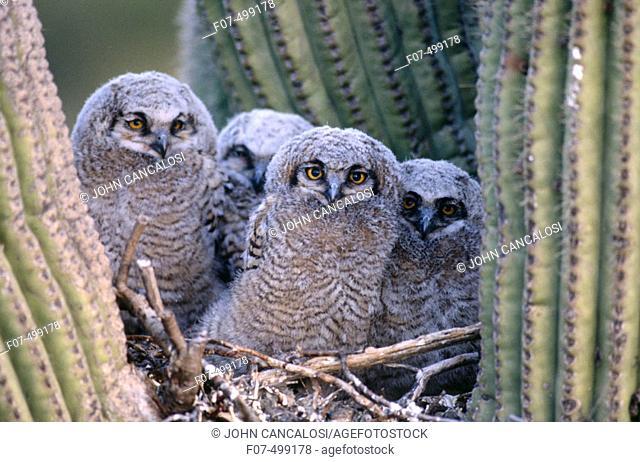 Great Horned Owl (Bubo virginianus). Arizona, USA