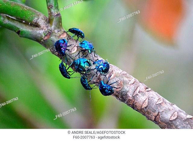 Group of blue insects Hemiptera, Zicrona cerulea, Poindimie, New Caledonia, South Pacific