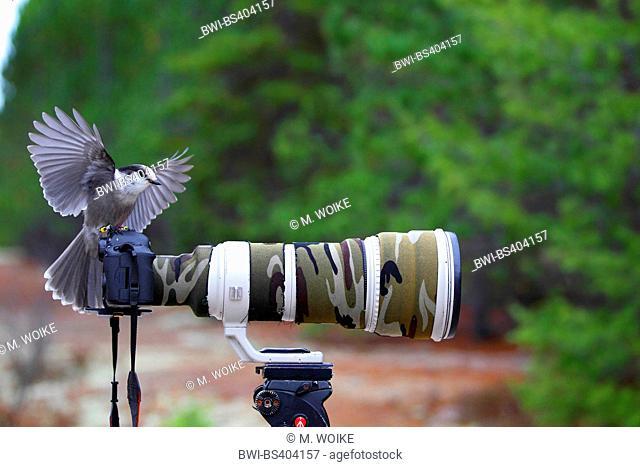 grey jay (Perisoreus canadensis), lands on a camera, Canada, Ontario, Algonquin Provincial Park