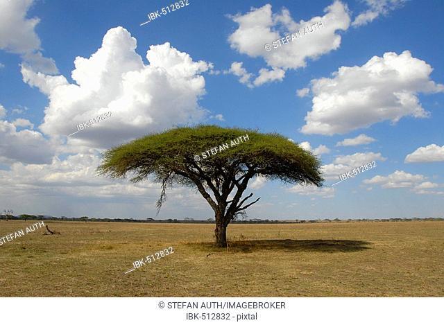 Lonesome tree Umbrella Thorn Acacia (Acacia tortilis) Serengeti National Park Tanzania