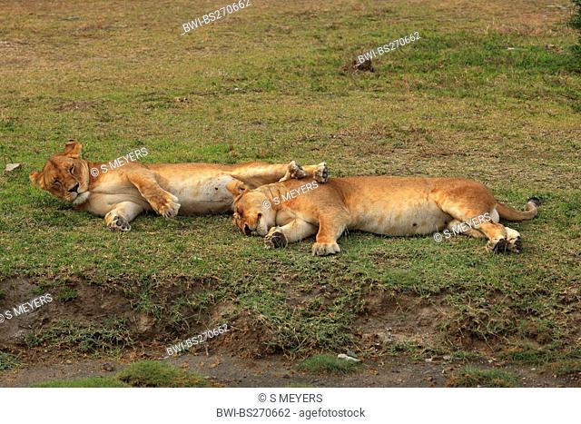 lion Panthera leo, two sleeping lions , Tanzania, Ngorongoro Conservation Area