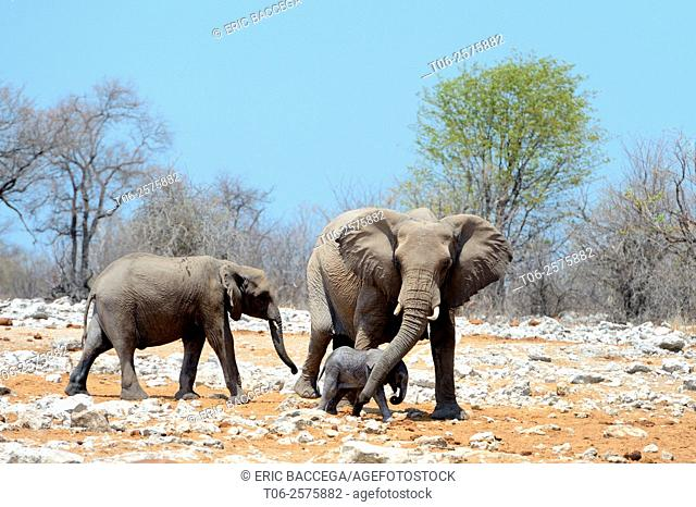 African elephant female protecting and helping her very young calf with her trunk (Loxodonta africana) Etosha National Park, Namibia, Africa