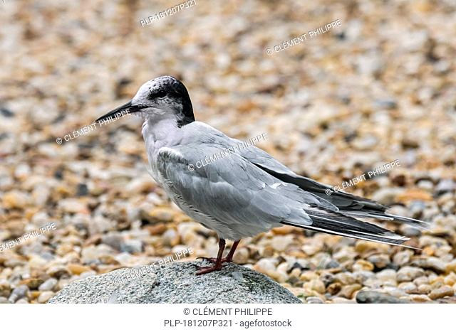 Common tern (Sterna hirundo) in non-breeding plumage perched on boulder on shingle beach in late summer