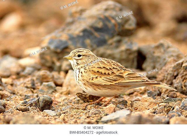 lesser short-toed lark (Calandrella rufescens), sits in semi-desert, Canary Islands, Fuerteventura