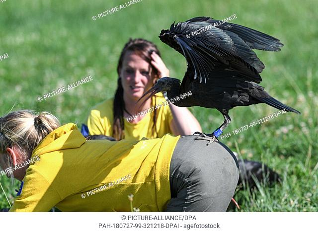 16 July 2018, Germany, Ìberlingen: A bustard lands on the buttocks of foster mother Anne-Gabriela Schmalstieg, who is in a colony of bald egrets about three...