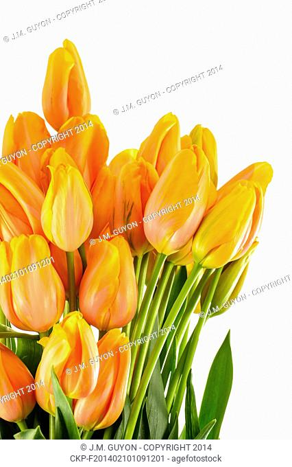 Spring flowers yellow and orange tulips isolated on white