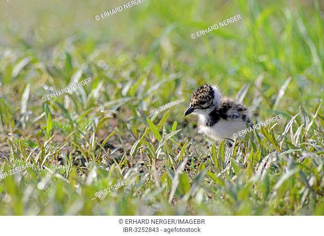 Lapwing, Northern Lapwing or Green Plover (Vanellus vanellus), chick