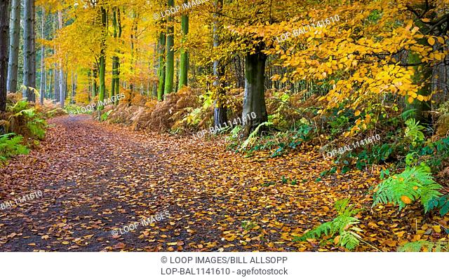 A path through beech woodland in Charnwood Forest during autumn
