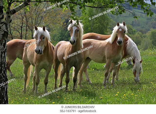 Haflinger horses - standing on meadow