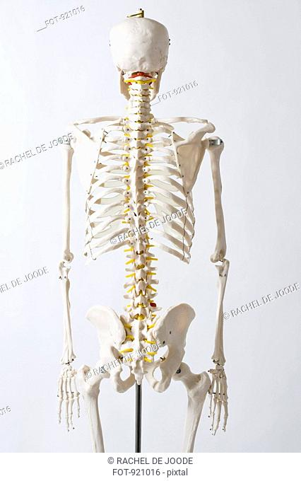 Rear view of an anatomical skeleton model