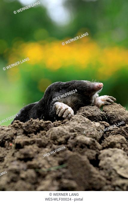 European Mole on mole hill