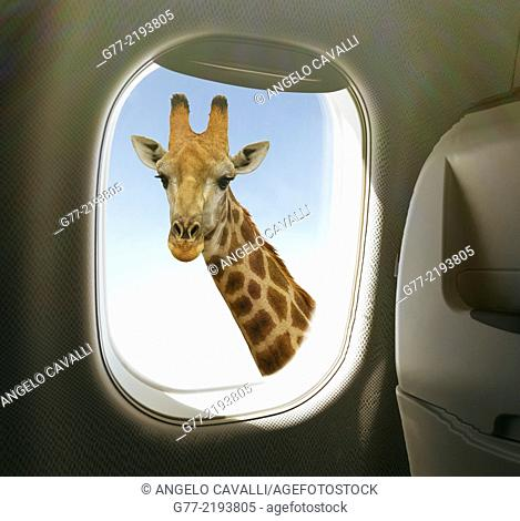 Giraffe view from airplane window