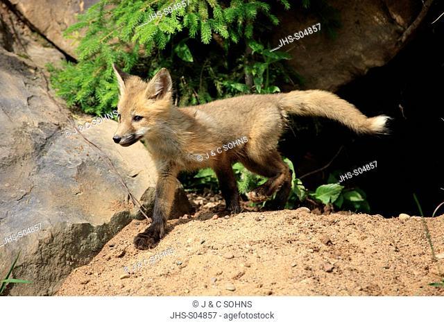 American Red Fox,Vulpus fulva,Minneapolis,USA,young at den