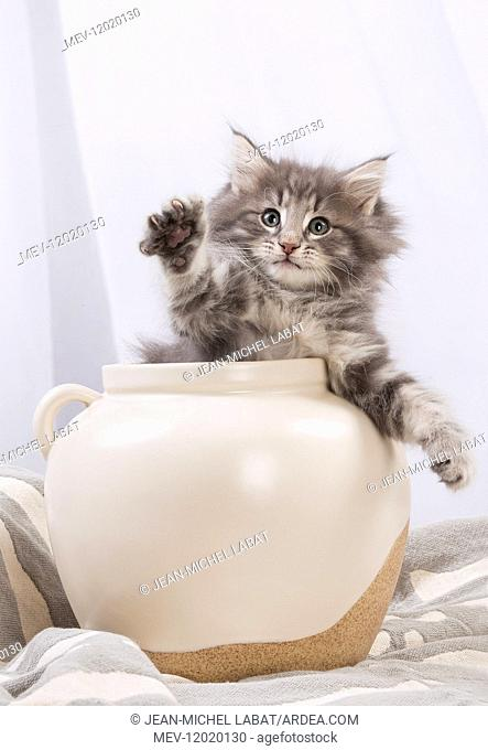 Norwegian Forest Cat, kitten in a white pot
