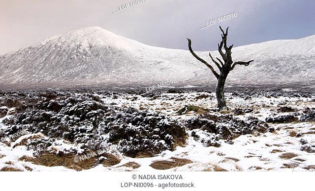 Scotland, Highland, Rannoch Moor, A lonely tree on Rannoch Moor