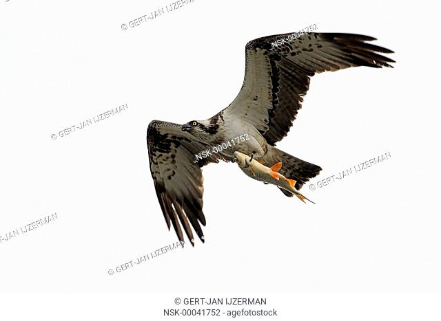 Osprey (Pandion haliaetus) flying with a fish in its claw, The Netherlands, Overijssel, Kampen, Ijssel