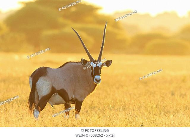 Botswana, Kalahari, Central Kalahari Game Reserve, gemsbok at backlight