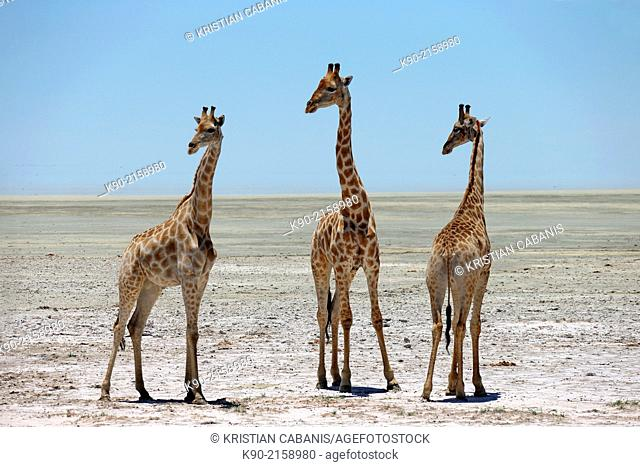 Three Giraffe,, Giraffa camelopardalis, standing besides each other on the sandy ground of the Etosha Pan and turning their heads to the left