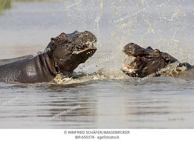 Hippopotamuses (Hippopotamus amphibius), Moremi Game Reserve, Botswana, Africa