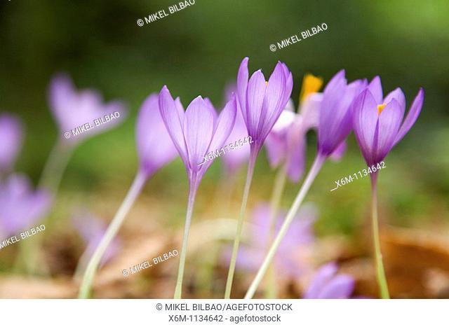 Wild saffron (Crocus nudiforus). Ucieda valley. Cabuerniga Valley. Cantabria; Spain