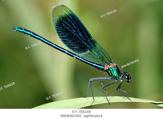banded blackwings, banded agrion, banded demoiselle (Calopteryx splendens, Agrion splendens), male on a leaf, Germany