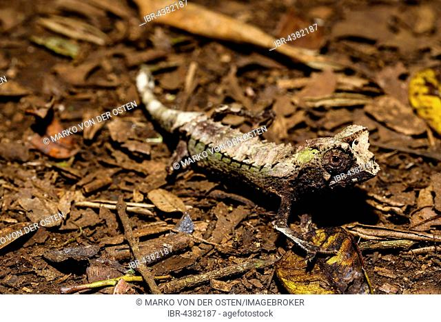 Male leaf chameleon (Brookesia ambreensis) on the ground, Amber Mountain National Park, Diana, Madagascar