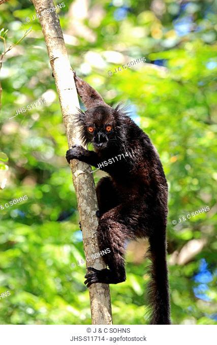 Black Lemur, Eulemur macaco, Nosy Komba, Madagascar, Africa, adult male on tree