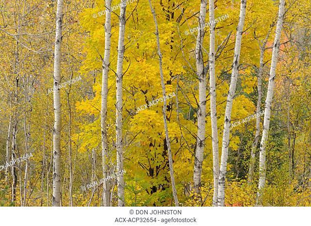 Aspen woodlot with sugar maple tree, Ontario, Canada