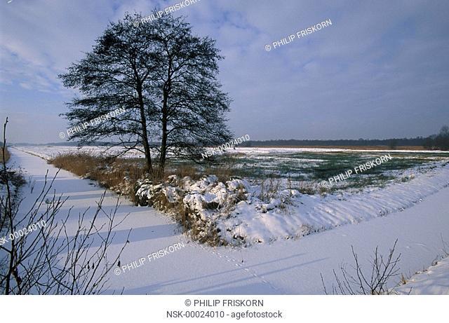 Common Alder (Alnus glutinosa) on marsh in december with snow, The Netherlands, Overijssel, National Park Weerribben-Wieden