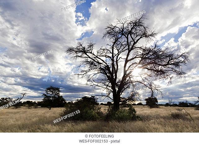 Africa, Botswana, Mabuasehube, View of acacia tree