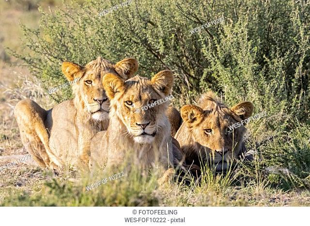 Botswana, Kgalagadi Transfrontier Park, pride of lions