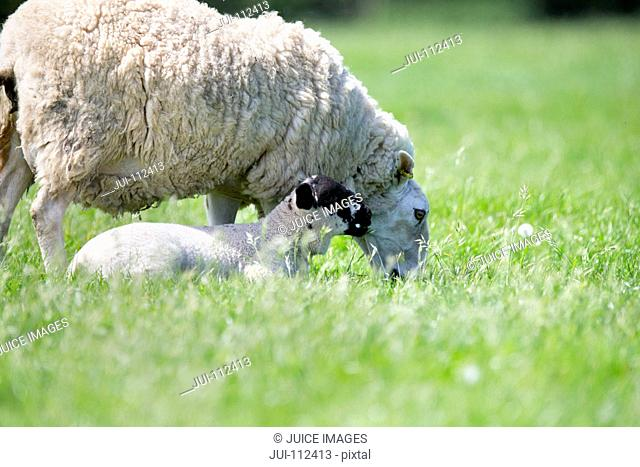 Sheep and lamb in sunny green spring field