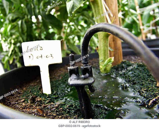 Irrigation, tomatoes produced, greenhouse, farm Ituaú, Salto, São Paulo, Brazil