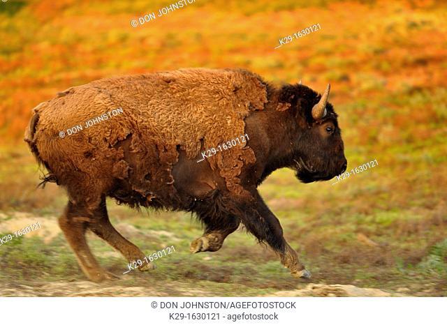 American Bison Bison bison Stampeding