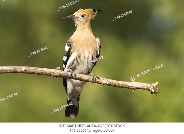 hoopoe (Upupa epops). Parque de Polvoranca, Leganes, Madrid province, Spain