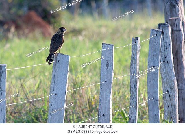 Bird of prey, Hawk-carrapateiro, Pantanal, Mato Grosso do Sul, Brazil