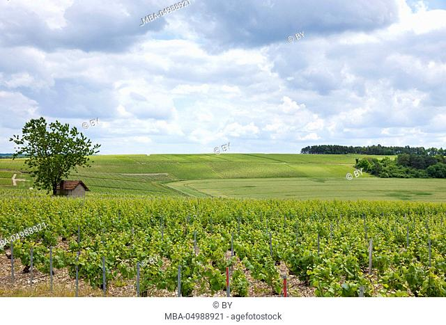 Vineyards in the Champagne