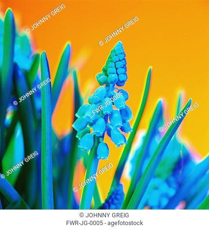 Muscari - variety not identified, Grape hyacinth