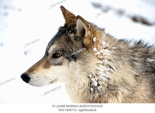 North American Timber wolf, Canis Lupus in snow