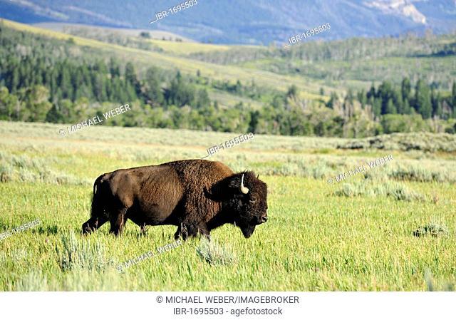 American bison (Bison bison), bull, Grand Teton National Park, Wyoming, United States of America, USA