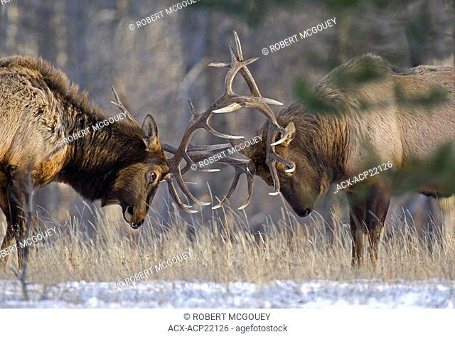 Two mature bull Elk Cervus elaphus being agressive pushing and shoving each other with thier heavy antlers